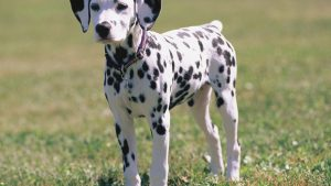 Downloadable Free Spotty Dalmatian Dog Photographs