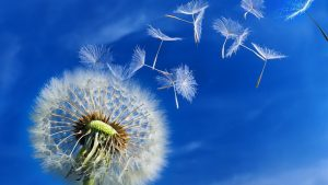 Free Download Dandelion Background