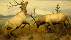 Elk or Wapiti (Cervus canadensis) Images as Backgrounds