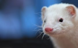 Ferret Photos as Wallpapers in True HD