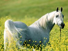 Download Arabian Horse Background Free