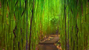 Bamboo Forest HD Wallpaper