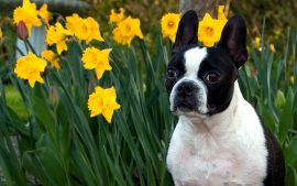 Boston Terrier American Small Dog Photographs