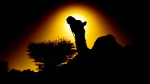 Camels in The Desert Photographs as Wallpapers For Everyone