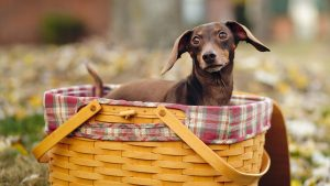 Dachshund Dog Background High Resolution Pics