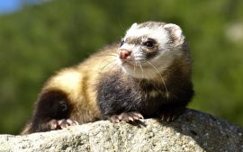 Ferret Backgrounds Download Free