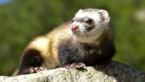 Ferret Cute Image Backgrounds