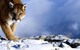 Free Download Cougar Wallpapers HD