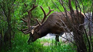 Elk or Wapiti Animal Photos as Wallpapers in true HD