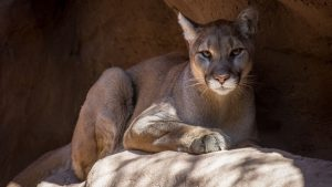 Cougar Backgrounds HD