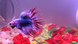 Betta Fish Wallpapers HD