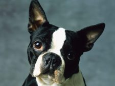 Boston Terrier Desktop Background