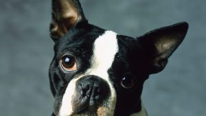 Boston Terrier Dog Photos as Desktop Screen Backgrounds