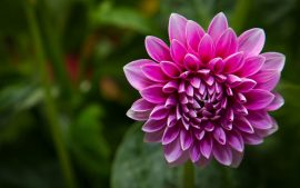 Free Download Dahlia Background