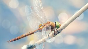 Dragonfly Wallpapers HD