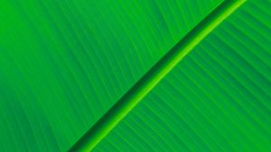 Banana Leaf Wallpapers HD