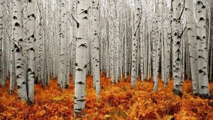 Aspen Tree Wallpapers HD