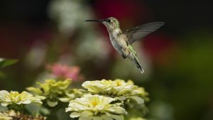 Hummingbird Backgrounds HD