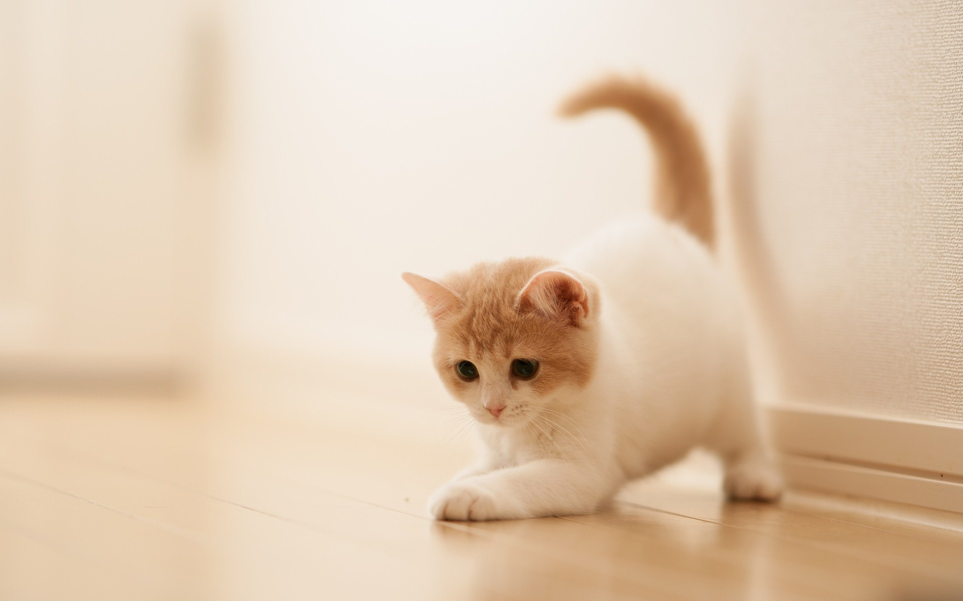 wallpaper.wiki-Photos-Cute-white-Kitty-1920x1200-PIC-WPD0012469