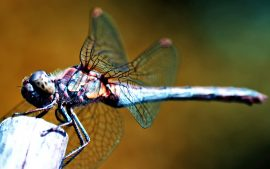 Dragonfly Backgrounds Free Download