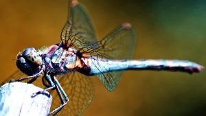 Dragonfly Anisoptera Beautiful Backgrounds Available For Free Here