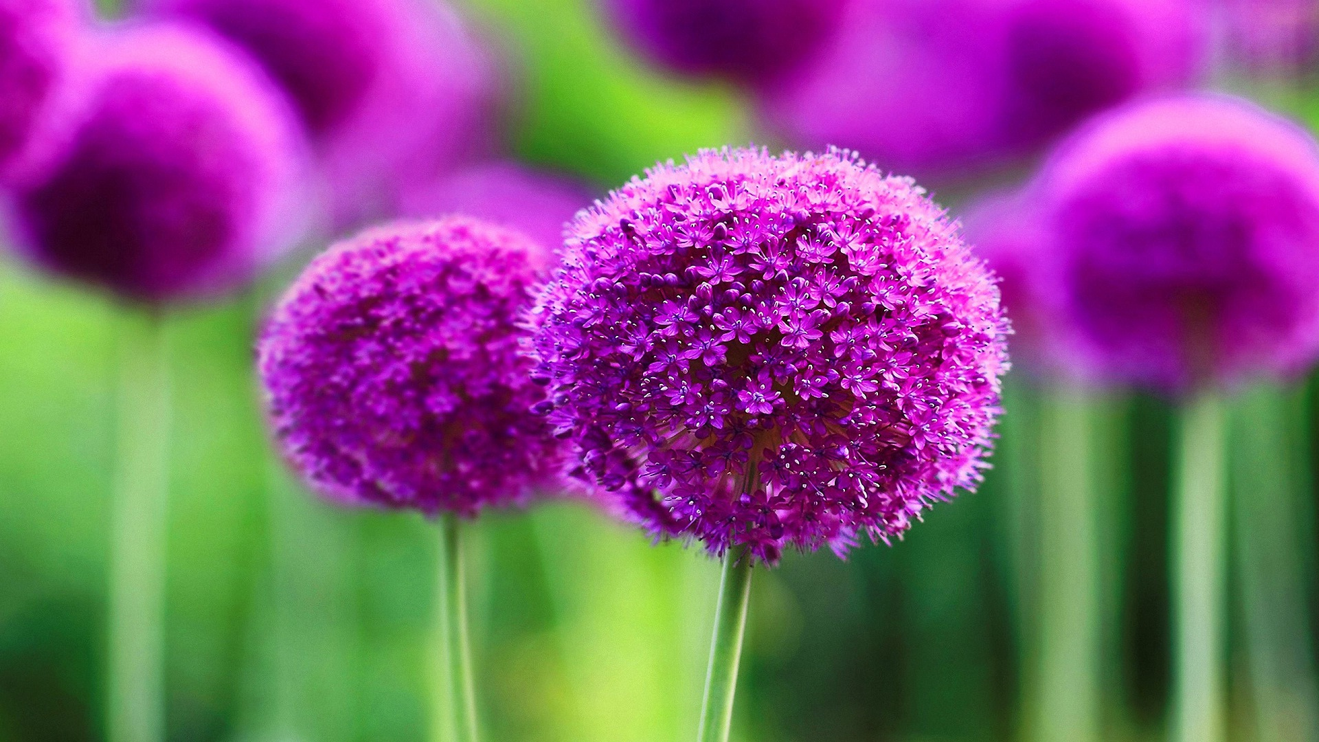 Wallpaper purple flowers most beautiful backgrounds pic download izmirmasajfo