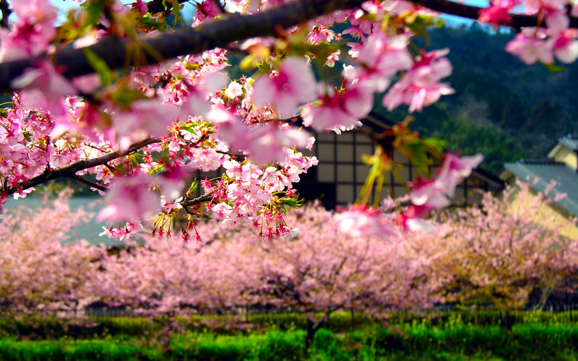 Wallpaper Spring Flower In Japan Pic Wpb00375 Wallpaper