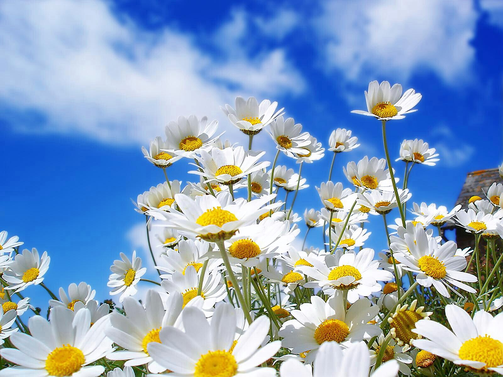 Wallpaper white spring flower in morning background pic download mightylinksfo