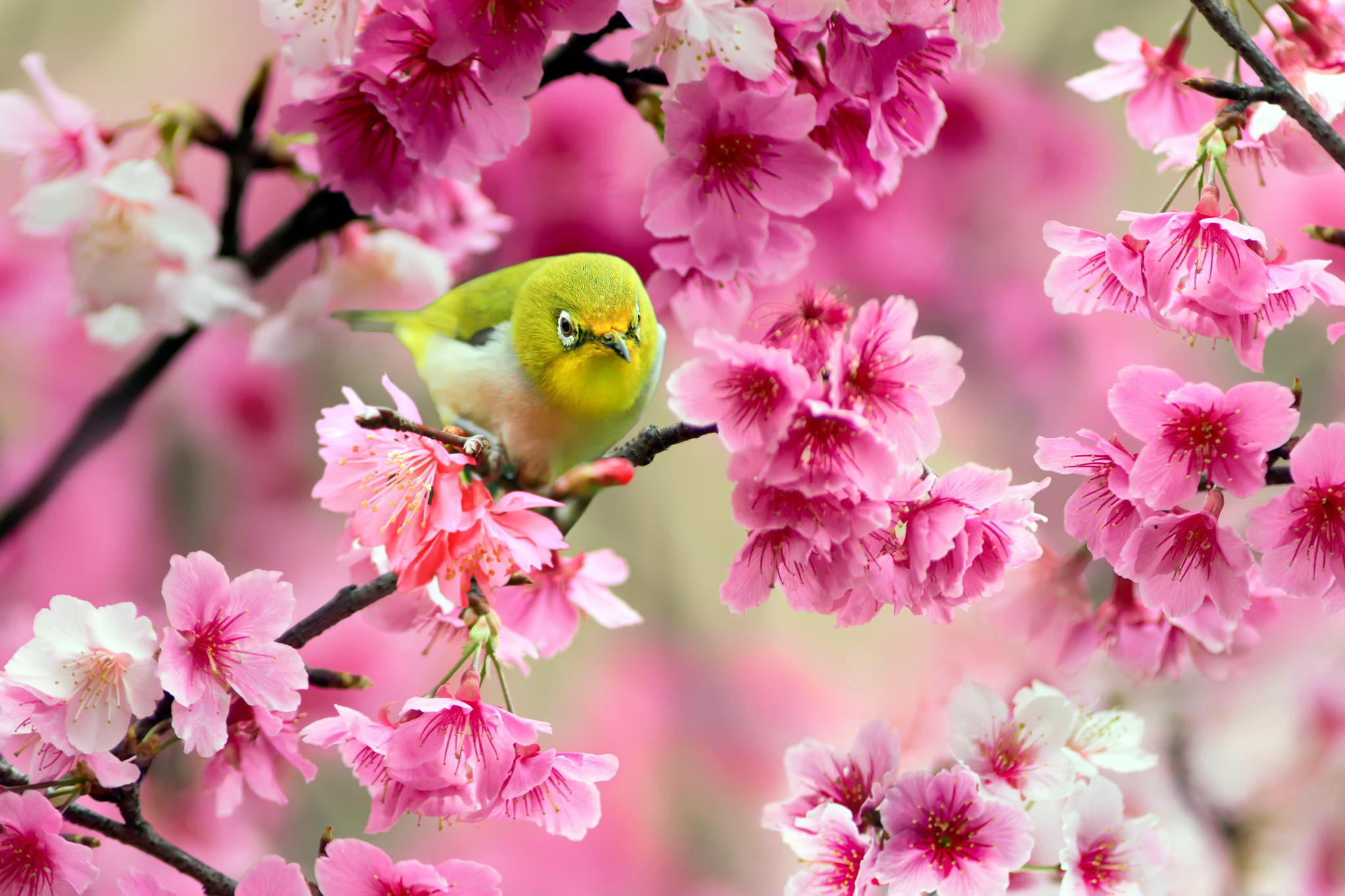 Spring In Japan Wallpapers Page 3 Of 3 Wallpaper