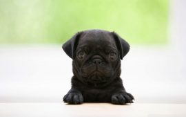 Free Desktop Pug Wallpapers