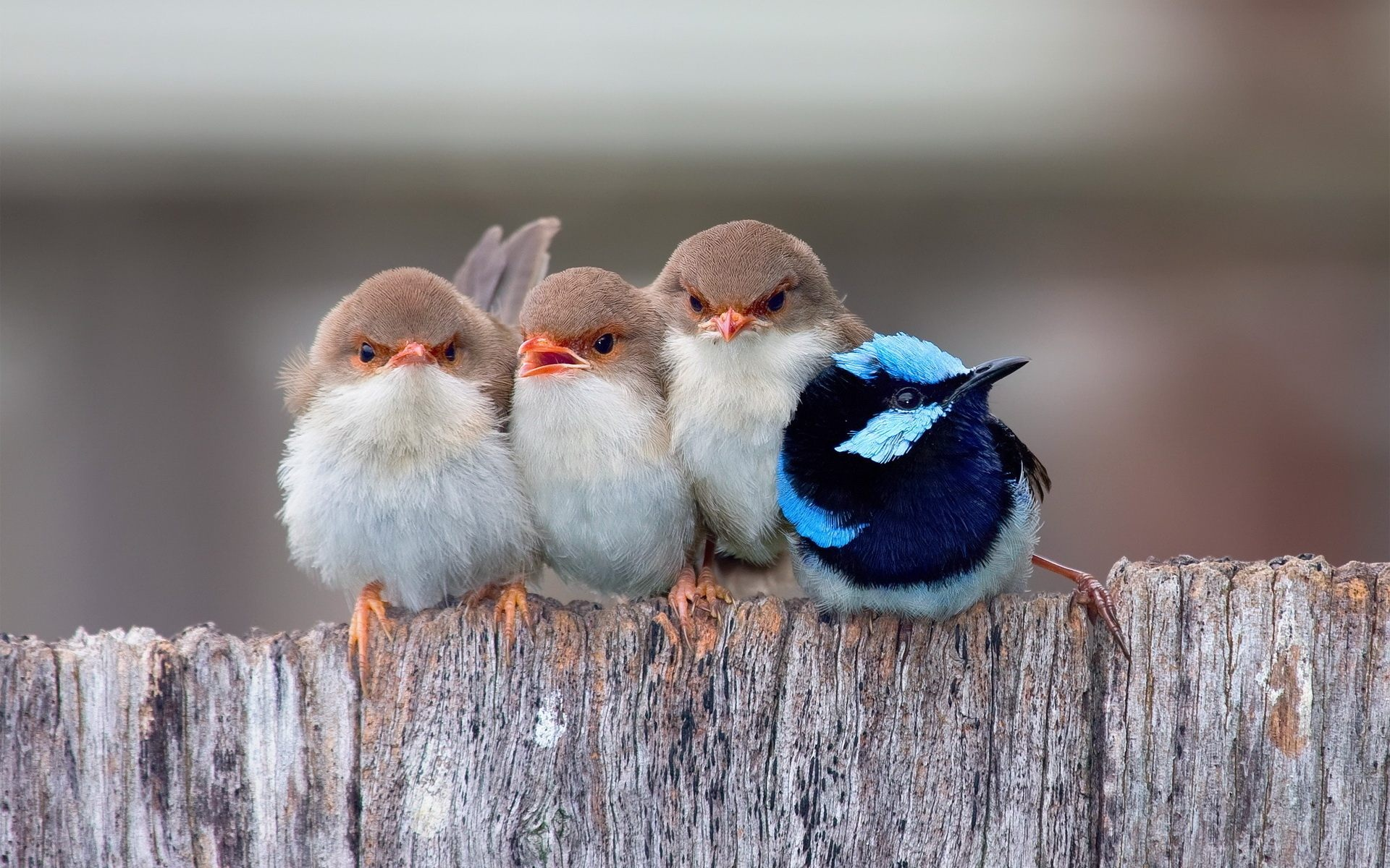 Cute-Birds-Baby-So-Sweet-Wallpaper