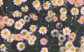 Desktop Daisy HD Wallpapers