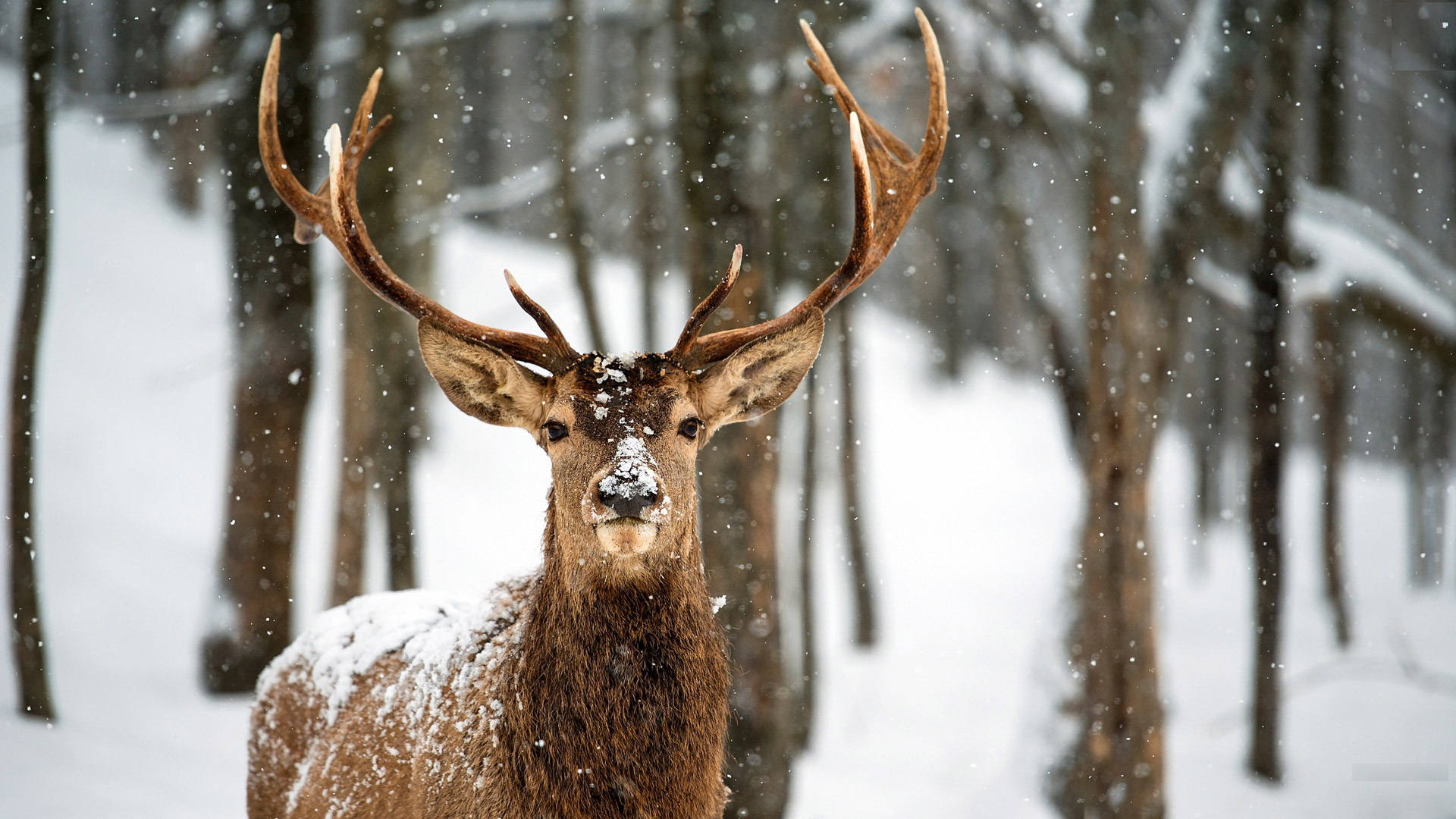 Deer Animal Wallpapers HD
