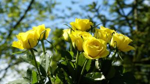 Yellow Rose Backgrounds