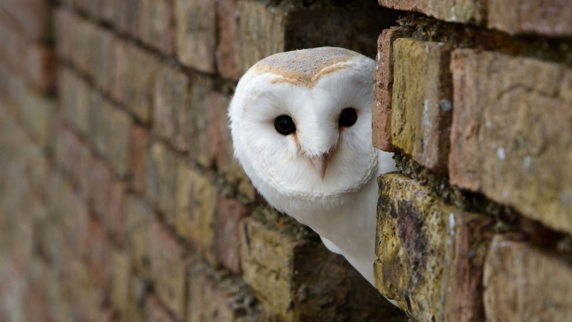 full-hd-owl-wallpaper-1080p-download | wallpaper.wiki