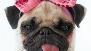 Free HD Pug Wallpapers