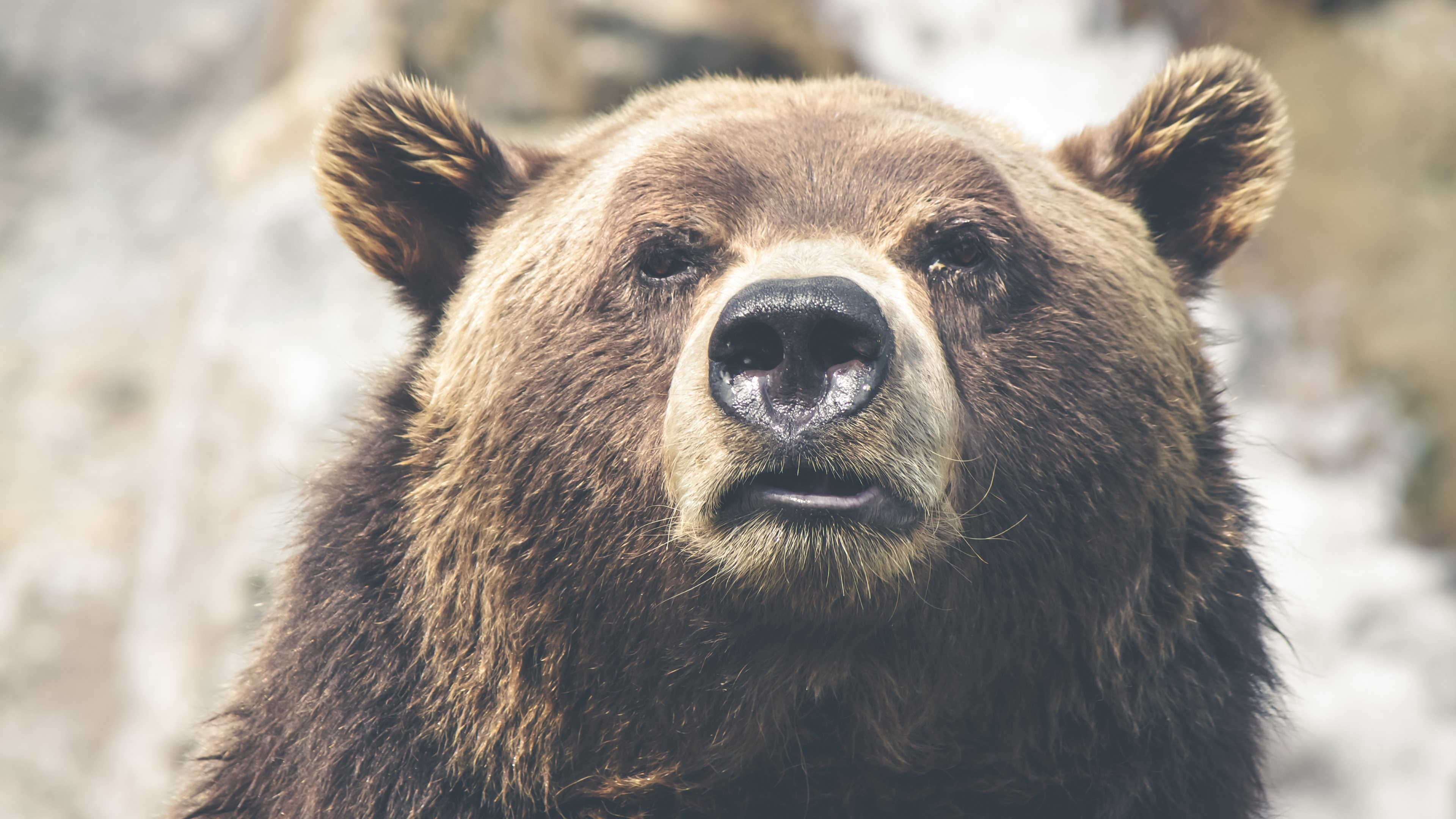 Grizzly Bear Portrait Uhd Wallpapers