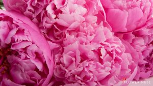 HD Peony Backgrounds