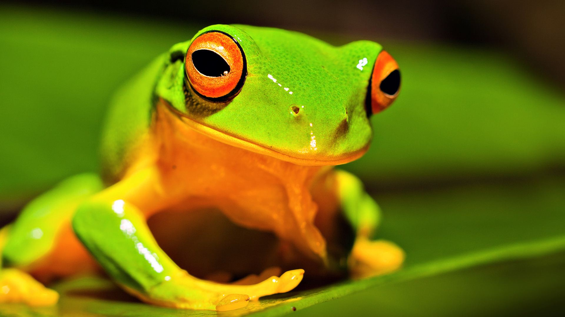 nature-animals-frog-green-wallpaper | wallpaper.wiki