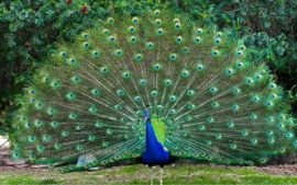 Peacock Backgrounds Free