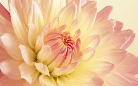 Peony Wallpapers Free Download