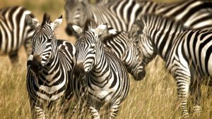 Zebra Backgrounds Free