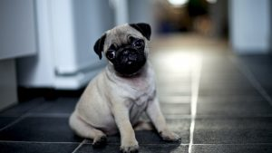Pug Wallpapers HD