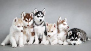 Siberian Husky HD Wallpapers