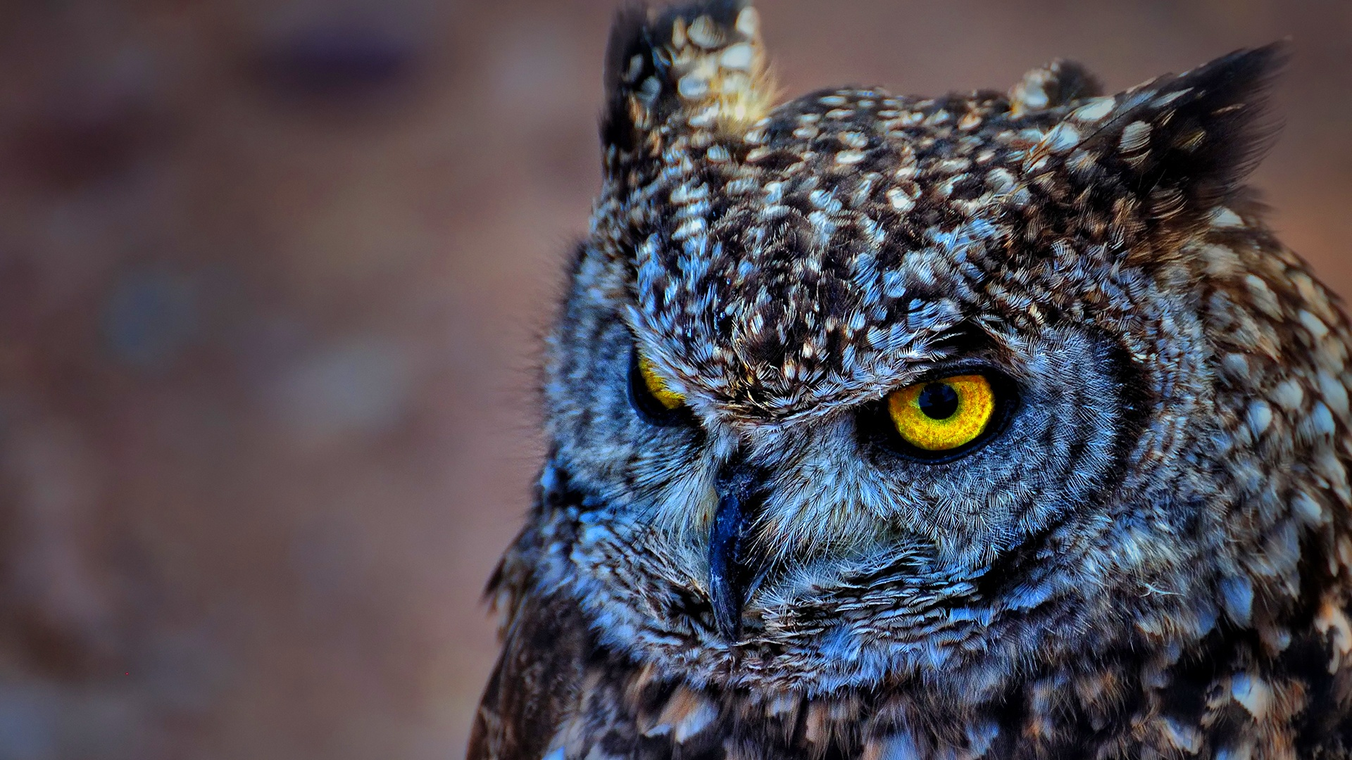 spotted-eagle-owl-wallpaper-hd-backgrounds-1920x1080 | wallpaper.wiki