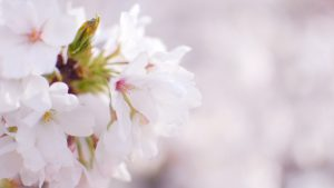 White Cherry Blossom Wallpapers