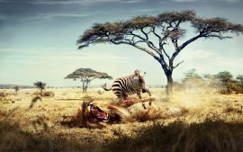 Zebra Wallpapers HD