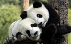 Free Download Cute Panda Wallpapers Tumblr