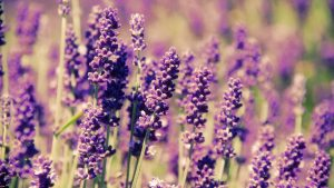 HD Lavender Flower Backgrounds