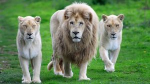 Download Free White Lion Backgrounds